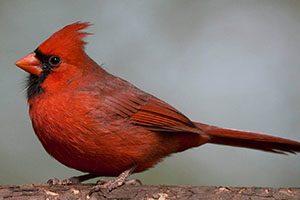 Investigadores do CIBIO-InBIO descobrem o segredo das aves vermelhas